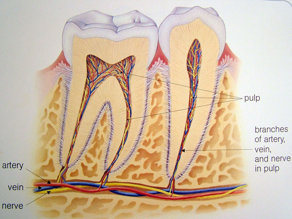 rootcanal_healthy_1